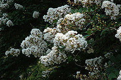 Acoma Crapemyrtle (Lagerstroemia 'Acoma') at New Garden Landscaping & Nursery