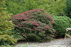 Pocomoke Crapemyrtle (Lagerstroemia 'Pocomoke') at New Garden Landscaping & Nursery
