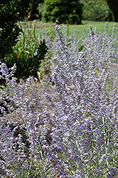 Lacey Blue Russian Sage (Perovskia atriplicifolia 'Lacey Blue') at New Garden Landscaping & Nursery
