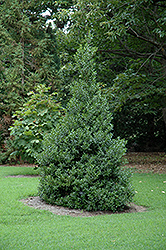 Oakland™ Holly (Ilex 'Magland') at New Garden Landscaping & Nursery