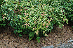 Fire Power Nandina (Nandina domestica 'Fire Power') at New Garden Landscaping & Nursery