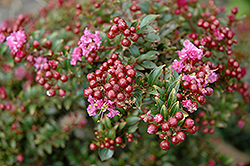 Chickasaw Crapemyrtle (Lagerstroemia 'Chickasaw') at New Garden Landscaping & Nursery