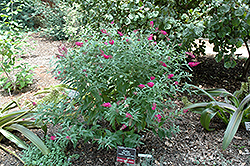 Miss Ruby Butterfly Bush (Buddleia davidii 'Miss Ruby') at New Garden Landscaping & Nursery
