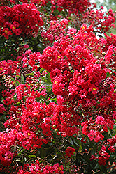 Red Rocket Crapemyrtle (Lagerstroemia indica 'Whit IV') at New Garden Landscaping & Nursery