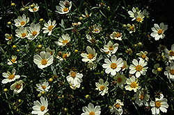 Star Cluster Tickseed (Coreopsis 'Star Cluster') at New Garden Landscaping & Nursery