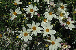 Cosmic Evolution Tickseed (Coreopsis 'Cosmic Evolution') at New Garden Landscaping & Nursery