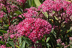 Carl Stonecrop (Sedum 'Carl') at New Garden Landscaping & Nursery