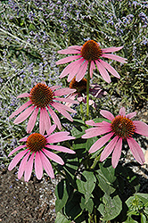 Prairie Splendor Coneflower (Echinacea purpurea 'Prairie Splendor') at New Garden Landscaping & Nursery