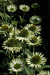 Green Jewel Coneflower (Echinacea 'Green Jewel') at New Garden Landscaping & Nursery