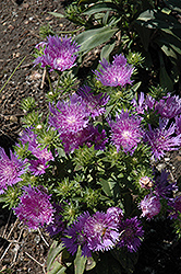 Peachie's Pick Aster (Stokesia laevis 'Peachie's Pick') at New Garden Landscaping & Nursery