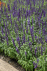 Victoria Blue Salvia (Salvia farinacea 'Victoria Blue') at New Garden Landscaping & Nursery