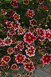 Ruby Frost Tickseed (Coreopsis 'Ruby Frost') at New Garden Landscaping & Nursery