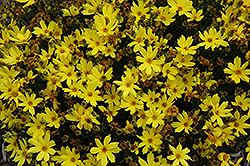 Citrine Tickseed (Coreopsis 'Citrine') at New Garden Landscaping & Nursery