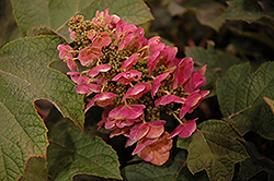 Ruby Slippers Hydrangea (Hydrangea quercifolia 'Ruby Slippers') at New Garden Landscaping & Nursery