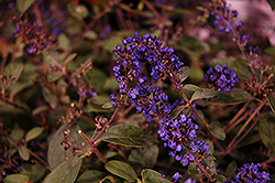 Lo And Behold® Blue Chip Junior Dwarf Butterfly Bush (Buddleia 'Lo And Behold Blue Chip Junior') at New Garden Landscaping & Nursery