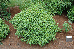 Kelsey Dogwood (Cornus sericea 'Kelseyi') at New Garden Landscaping & Nursery