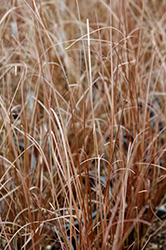Red Rooster Sedge (Carex buchananii 'Red Rooster') at New Garden Landscaping & Nursery