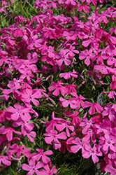Drummond's Pink Moss Phlox (Phlox subulata 'Drummond's Pink') at New Garden Landscaping & Nursery