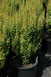 Pow Wow Japanese Barberry (Berberis thunbergii 'Pow Wow') at New Garden Landscaping & Nursery