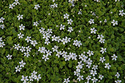 Blue Star Creeper (Isotoma fluviatilis) at New Garden Landscaping & Nursery