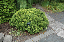 Golden Pin Cushion Falsecypress (Chamaecyparis pisifera 'Golden Pin Cushion') at New Garden Landscaping & Nursery