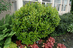 Dwarf Strawberry Tree (Arbutus unedo 'Compacta') at New Garden Landscaping & Nursery