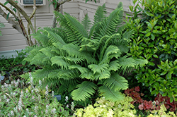 Sword Fern (Polystichum munitum) at New Garden Landscaping & Nursery