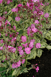 Valley High Variegated Catchfly (Silene dioica 'Valley High') at New Garden Landscaping & Nursery