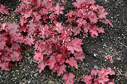 Fire Chief Coral Bells (Heuchera 'Fire Chief') at New Garden Landscaping & Nursery
