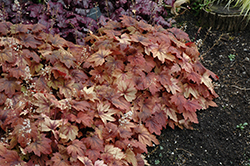 Sweet Tea Foamy Bells (Heucherella 'Sweet Tea') at New Garden Landscaping & Nursery