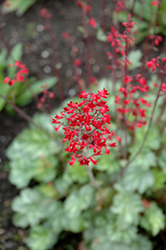 Lipstick Coral Bells (Heuchera 'Lipstick') at New Garden Landscaping & Nursery
