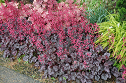 Glitter Coral Bells (Heuchera 'Glitter') at New Garden Landscaping & Nursery