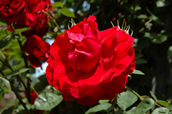 Ramblin' Red Rose (Rosa 'Ramblin' Red') at New Garden Landscaping & Nursery