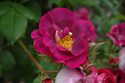 Stormy Weather Rose (Rosa 'ORAfantanov') at New Garden Landscaping & Nursery
