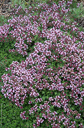 Magic Carpet Thyme (Thymus serpyllum 'Magic Carpet') at New Garden Landscaping & Nursery