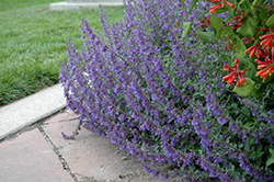 Six Hills Giant Catmint (Nepeta x faassenii 'Six Hills Giant') at New Garden Landscaping & Nursery