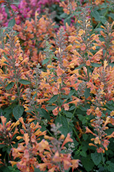 Acapulco Orange Mexican Hyssop (Agastache mexicana 'Acapulco Orange') at New Garden Landscaping & Nursery