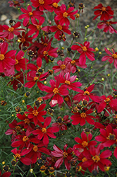 Red Satin Tickseed (Coreopsis 'Red Satin') at New Garden Landscaping & Nursery