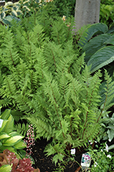 Lady in Red Fern (Athyrium filix-femina 'Lady in Red') at New Garden Landscaping & Nursery