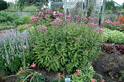 Baby Joe Dwarf Joe Pye Weed (Eupatorium dubium 'Baby Joe') at New Garden Landscaping & Nursery