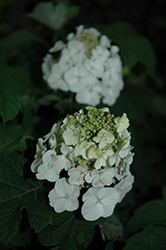 Jetstream™ Hydrangea (Hydrangea quercifolia 'PIIHQ-I') at New Garden Landscaping & Nursery
