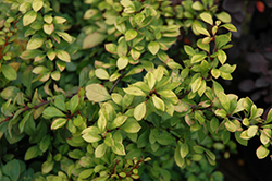First Editions® Daybreak Japanese Barberry (Berberis thunbergii 'First Editions Daybreak') at New Garden Landscaping & Nursery