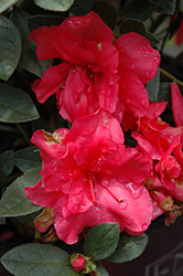 Encore® Autumn Rouge™ Azalea (Rhododendron 'Conlea') at New Garden Landscaping & Nursery