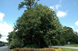 Southern Live Oak (Quercus virginiana) at New Garden Landscaping & Nursery