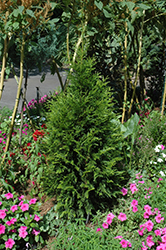 Steeplechase Arborvitae (Thuja 'Steeplechase') at New Garden Landscaping & Nursery