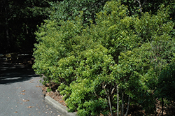 Southern Wax Myrtle (Myrica cerifera) at New Garden Landscaping & Nursery