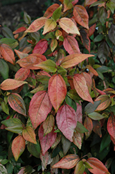 Inferno Copper Plant (Acalypha wilkesiana 'Inferno') at New Garden Landscaping & Nursery
