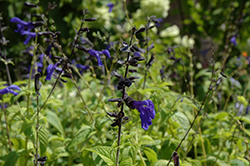 Black And Blue Anise Sage (Salvia guaranitica 'Black And Blue') at New Garden Landscaping & Nursery