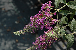 Raspberry Eyes Butterfly Bush (Buddleia 'Raspberry Eyes') at New Garden Landscaping & Nursery