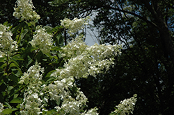 Tardiva Hydrangea (tree form) (Hydrangea paniculata 'Tardiva (tree form)') at New Garden Landscaping & Nursery